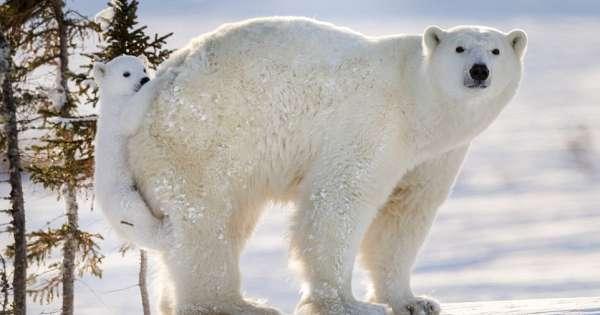 爱撒娇的小北极熊走累了就紧紧巴住妈妈的身体
